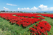 A field of red flowers in Dali, Yunnan, China