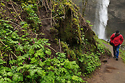 USA, Oregon, Columbia Gorge National Scenic Area, Latourell Falls, hiker walking past Bleeding Hearts (Dicentra formosa) MR