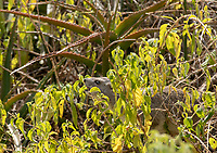 Yellow-spotted Rock Hyrax, Heterohyrax brucei, feeds on leaves in Serengeti National Park, Tanzania