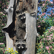 Raccoon (Procyon lotor) pair in a hollow log in Montana. Captive Animal
