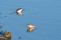 Least Sandpipers, Calidris minutilla, feeding in shallow water at Lower Klamath National Wildlife Refuge, Oregon