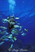 diver is surrounded by yellowtail snappers, Ocyurus chrysurus, a Nassau grouper, Epinephelus striatus, and a queen triggerfish, Balistes vetula, Lighthouse Reef Atoll, Belize, Central America ( Caribbean Sea ) MR 127