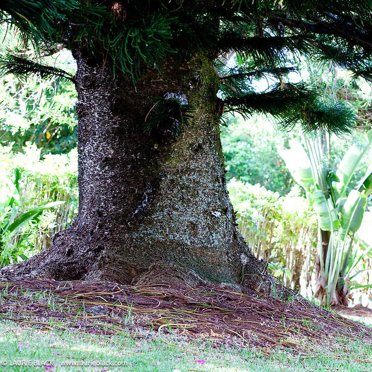 Massive tropical tree trunk