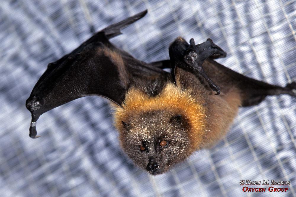 Rodrigues Fruit Bat