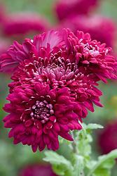 Chrysanthemum 'Sheer Purple'