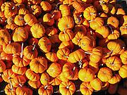A fall pumpkin harvest is displayed for sale at a farmer's market, Minnesota, USA.