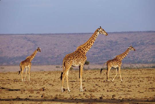 Giraffe, (Giraffa camelopardalis) Herd on Serengeti Plains. Masai Mara Reserve. Kenya. Africa.