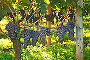 A vine with Ripe Merlot grape bunches on the vine at Chateau Petrus, Pomerol, Bordeaux. owned by the Moueix family