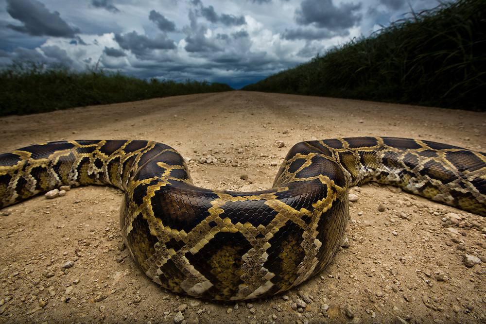 An invasive species in the United States, the ever pervasive Burmese Python crosses a dirt road on the border of Everglades National Park.  Miami, Fl