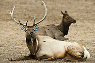 A radio collared and tagged bull elk reclines near a cow elk at Oak Creek, Cascade Range, Washington, USA