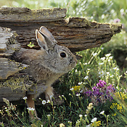 Mountain Cottontail adult coming out of a log. Montana