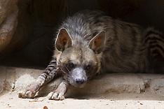 Striped Hyena (Hyena hyena dubbah)