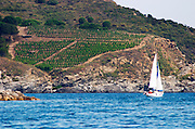 Vineyard by the sea. Sailing boat. Banyuls sur Mer, Roussillon, France