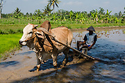 Ploughing ricefield with karbouw or water buffalo