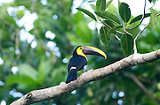 Chestnut Mandibled Toucan, Ramphastos swainsonii, Panama, Central America, Pipeline Road, Parque Nacional Soberania, perched in tree
