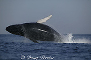 humpback whale, Megaptera novaeangliae, breaching while migrating up the Indian Ocean from feeding grounds in Antarctica toward breeding grounds in Mozambique, during the annual Sardine Run up the east coast of South Africa ( Indian Ocean )