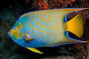Queen Angelfish (Holacanthus ciliaris) photographed in the Breakers Reef in Palm Beach, FL