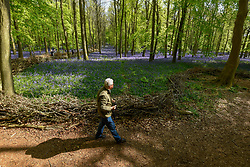 © Licensed to London News Pictures. 30/04/2019. ASHRIDGE, UK. A visitor walks by the bluebells bloom in Dockey Wood, Hertfordshire.  As the popular location experiences high numbers of visitors, the National Trust has imposed an entrance fee in recent years during busy periods with barricades of twigs and branches to demarcate pathways to protect the delicate flowers from being trampled.  Photo credit: Stephen Chung/LNP