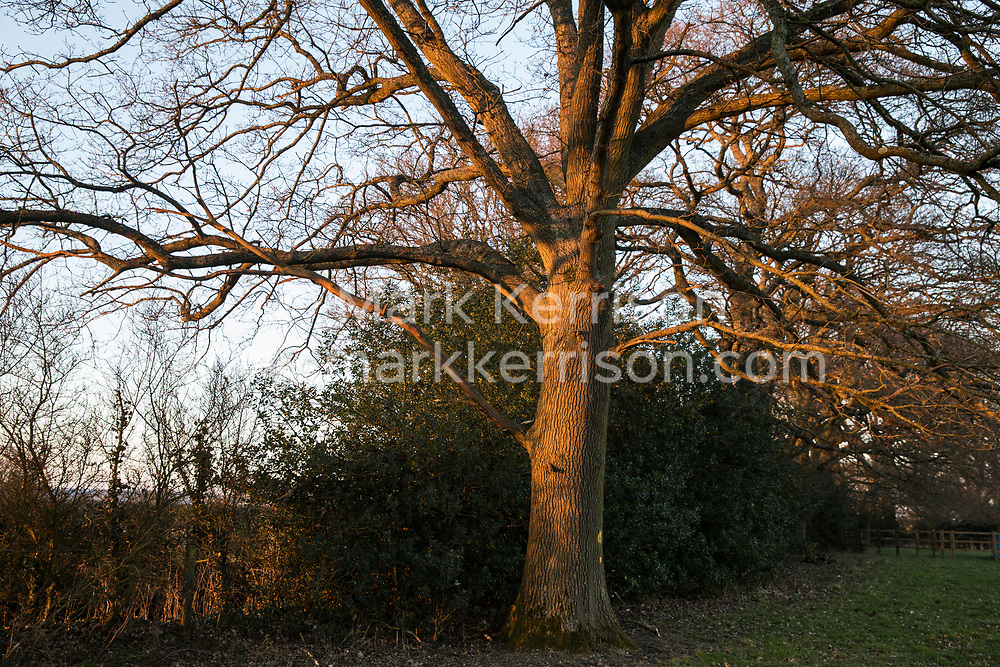 Great Missenden, UK. 28th February, 2021. One of a row of oak trees along Leather Lane is pictured bathed in late afternoon sunlight. Environmental activists from HS2 Rebellion have recently occupied the trees and set up a camp nearby following local reports that around twelve of the oak trees are threatened with felling for temporary works associated with the HS2 high-speed rail link. Credit: Mark Kerrison/Alamy Live News