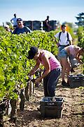 Vendangeurs pick Merlot grapes at vendange harvest in famous Chateau Petrus vineyard at Pomerol in Bordeaux, France