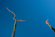 Ocotillo (Fouquieria splendens) pointing, Anza Borrego Desert, California, USA