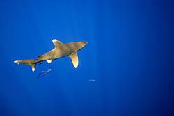 oceanic whitetip shark, Carcharhinus longimanus, with pilot fish, Naucrates ductor, Kona Coast, Big Island, Hawaii, USA, Pacific Ocean