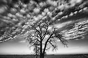 Plains cottonwood tree and clouds. Grande Pointe. Manitoba. Canada