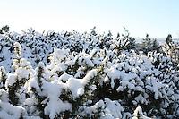 Snow covered gorse on Dalkey Hill Dublin Ireland November 2010