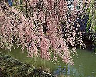 Cherry Blossoms, Brooklyn Botanic Garden, Brooklyn, New York, Japanese Hill and Pond Garden, Blossom