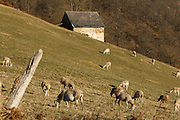 Sheep grazing near a stone barn near Alos, Ariege, Pyrenees, France.