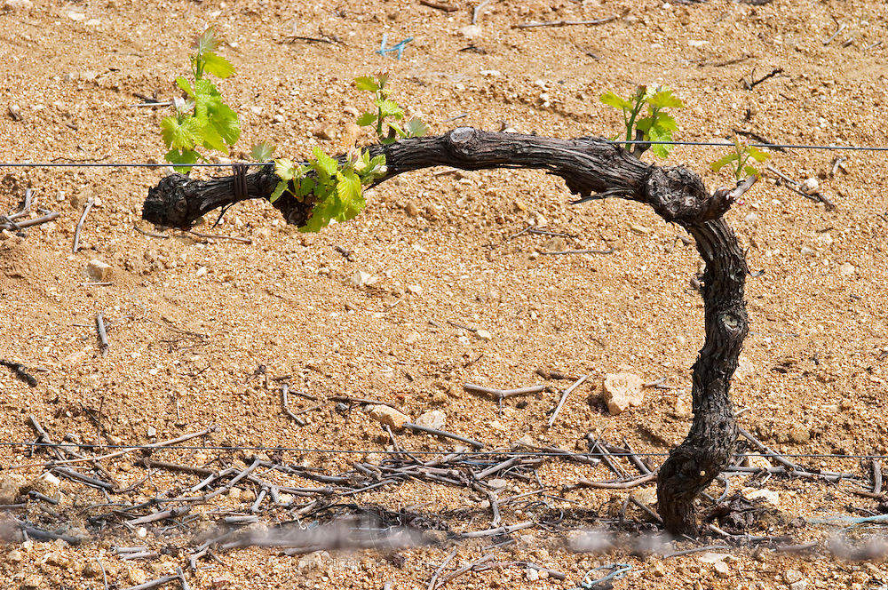 The vineyard of Pierre Gaillard in Malleval where he makes wines of the appellations Cote Rotie, Condrieu, and Saint Joseph.  On the plateau, high lying land, above the actual Rhone valley along the river. This particular vineyard is in Saint Joseph. A good typical example of Cordon Royat pruning.  Domaine Pierre Gaillard, Malleval, Ardeche, ardèche, France, Europe