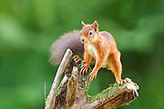 Red squirrel balanced on the top of a tree stump near the arboretum at the Aigas Field Centre near Beauly, Scotland.