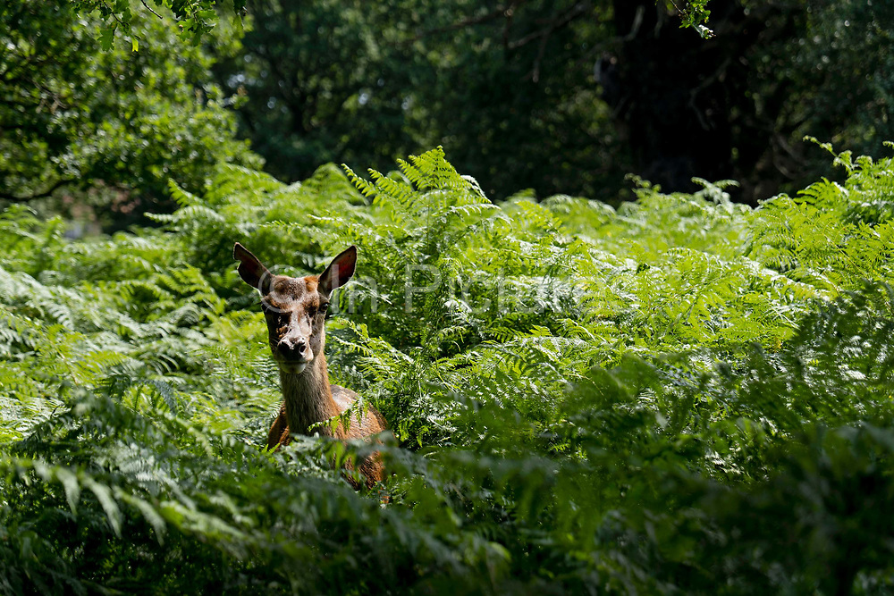 A deer peers from the fern in Richmond Park as record temperatures soar across England on the 25th July 2019 in Richmond in the United Kingdom. The Met Office has estimated that parts of England could reach a record-breaking 39C this afternoon.