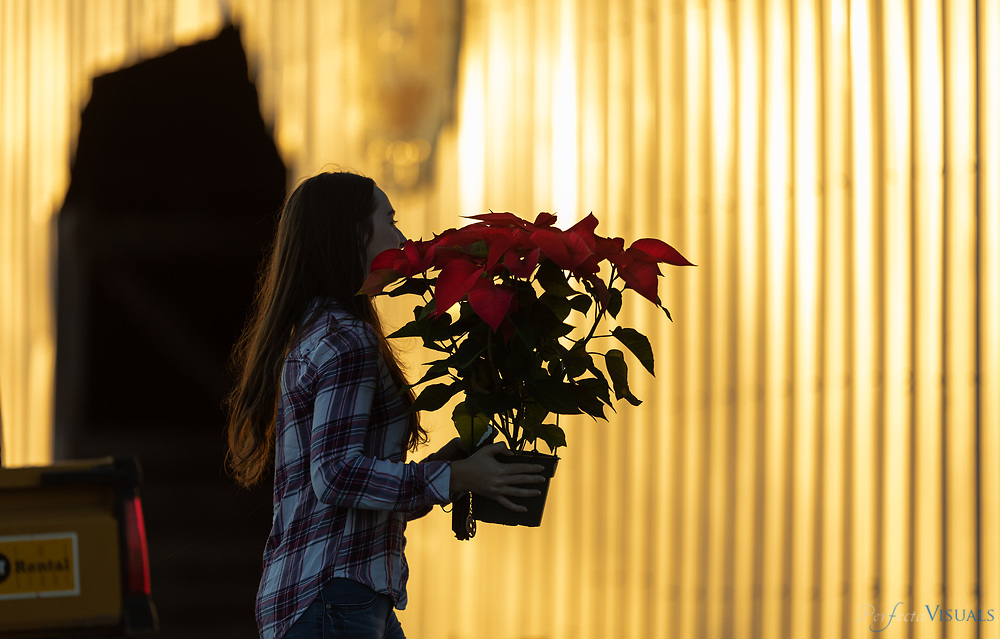 """The warmth of a late afternoon sunset mixes with the colors of a customer's poinsettia.<br /> <br /> Hickory Creek Farm is located on Burnetts Chapel Rd. in Greensboro, NC. The Christmas tree farm's philosophy is, """"We are a NC Century Farm dedicated to providing you with a beautiful Christmas Tree and a memorable family experience."""" Kevin Gray, a captain with the city of Greensboro Fired Department, helped convert his father's decades of focus on growing tobacco, vegetables and livestock to growing Christmas trees about 6 years ago. Gray says the farm was originally started by his great grandfather in 1913. Gray learned the business with another farmer for 12 years before embarking on tree sales five years ago. The sales operation sells a mix of trees grown by him and other North Carolina farmers at his retail location at his barn. <br /> <br /> Was tobacco, vegetables and livestock for majority of that time until we started with the tree planting about 6 years ago.<br /> <br /> The farm was actually originally started by my great grandfather in 1913<br /> <br /> This is our fifth season here at the farm.  I have worked for another farmer with trees for 12 years before that<br /> <br /> <br /> <br /> Photographed, Saturday, December 7, 2019, in Greensboro, N.C. JERRY WOLFORD / Perfecta Visuals"""