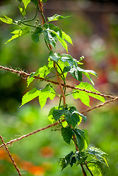 Humulus lupulus 'Fuggles' (Hop)  trained up string