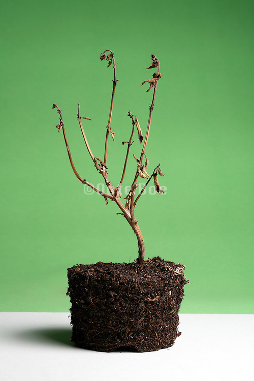 dead potted plant