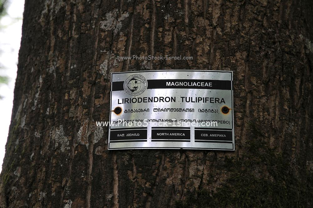 American tulip tree (Liriodendron tulipifera) at the Batumi Botanical Garden is a 108 hectare area of land 9 km north of the city of Batumi, capital of Autonomous Republic of Adjara, Georgia.