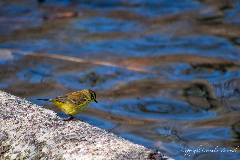 A Palm Warbler during a rest stop on it's way north at the edge of Turtle Pond in Central Park