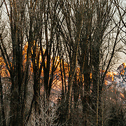 The Tetons at sunset through frost covered cottonwoods during winter.