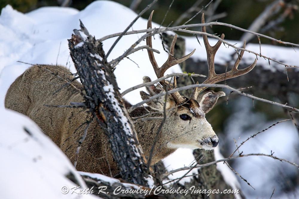 Mule deer buck in winter in Yellowstone National Park
