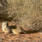 Yellow Mongoose, (Cynictis penicillata) Resting near low shrub in red sand area of Kalahari Desert. Africa.