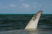 Great Hammerhead shark (Sphryna mokarran) with fin mounted ARGOS satellite transponder<br /> MAR Alliance<br /> Lighthouse Reef Atoll<br /> Belize<br /> Central America