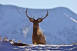 Bull Elk, Canadian Rockies, Waterton Lakes National Park