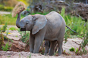 A desert-adapted elephant sub-adult (Loxodonta africana) sprays spring water from a freshly dug out hole after getting a drink,Skeleton Coast, Namibia,Africa
