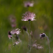 Pasque flowers in evening light with wind movement.