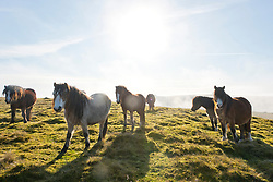 © Licensed to London News Pictures. 29/11/2020.  Builth Wells, Powys, Wales, UK. Welsh mountain ponies are surrounded by fog on the Mynydd Epynt range near Builth Wells in Powys, UK. Photo credit: Graham M. Lawrence/LNP