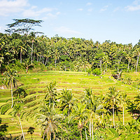 The Tegallalang Rice Terraces in Gianyar, Bali, Indonesia. Not far from Ubud, the Tegallang Rice Terraces are an amazing set of terraced rice paddies waiting to be explored.