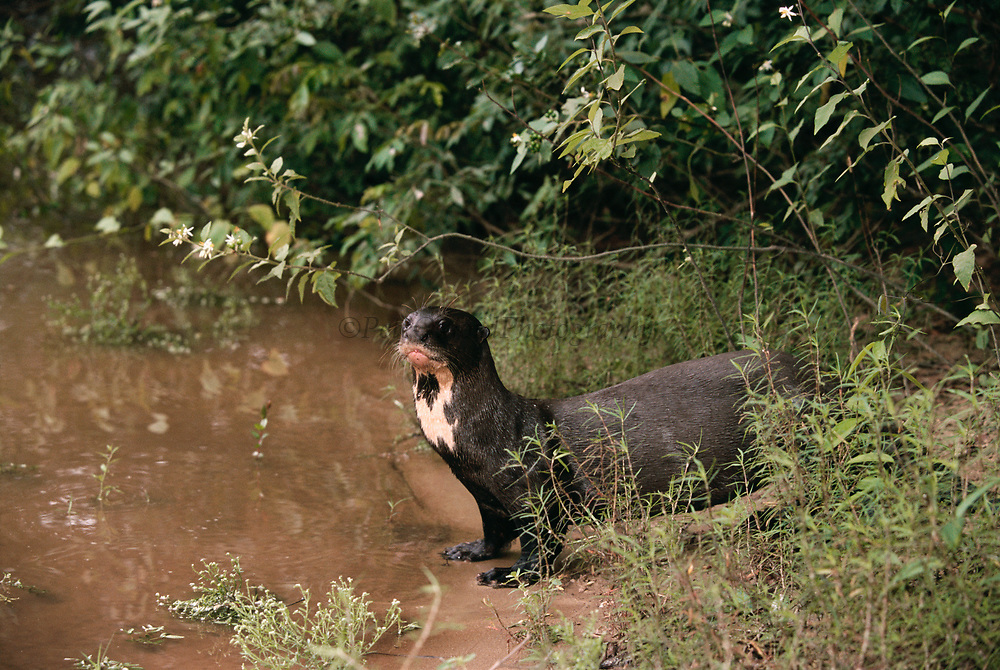 Giant Otter on Riverbank<br />Pteronura brasiliensis<br />Rupununi, GUYANA.   South America<br />RANGE; East of Andes Colombia to N. Argentina