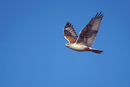 Ferruginous Hawk - Buteo regalis - Adult