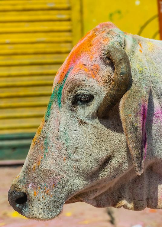 Holi Festival celebration (Festival of Colors), Vrindavan, near Mathura, Uttar Pradesh, India.